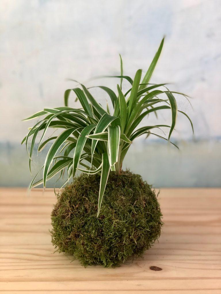 Kokédama MatTim Création plnate dans une boule de terre couverte de mousse